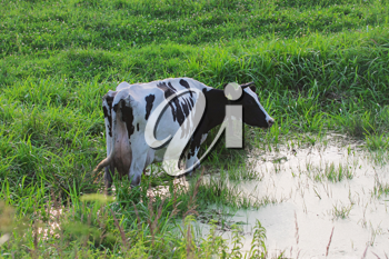 Royalty Free Photo of a Holstein Cow Grazing by a Pond