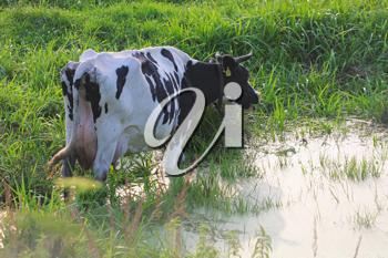 Royalty Free Photo of a Cow at a Pond