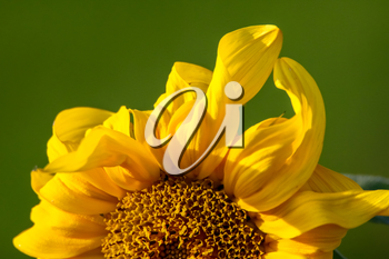 Blooming flowers. Sunflowers on a green grass.  Fragment of sunflower on green background. Wild flowers. Nature flower. Sunflowers on field. Sunflower is tall plant of the daisy family, with very large golden-rayed flowers.