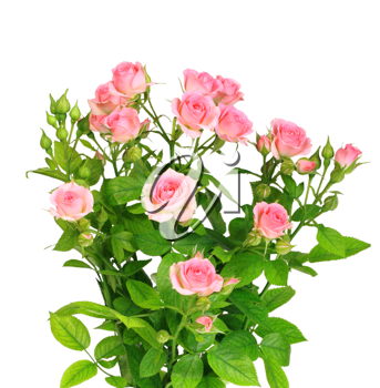 Bush with pink roses and green leafes isolated on white background. Close-up. Studio photography.