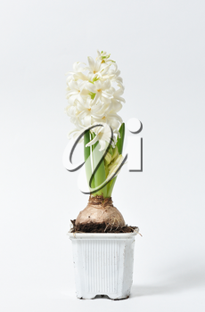 Beautiful and fresh hyacinth of white color in a pot on a white background.