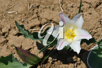 White Tulip growing out of the ground on a sunny day