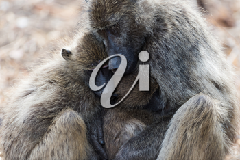 Baboon family in the wilderness of Africa