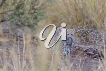 Baby leopard, leopard cub in the wilderness of Africa