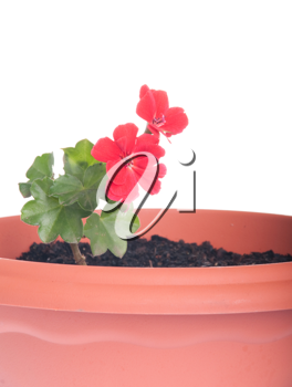 Royalty Free Photo of Red Geranium Flowers