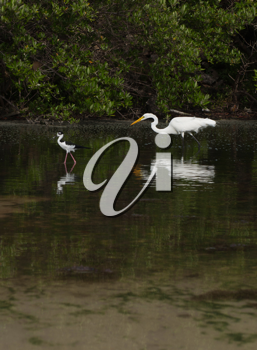 Royalty Free Photo of a White Heron in Antigua