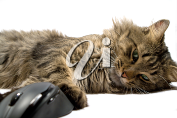 Royalty Free Photo of a Cat and Computer Mouse
