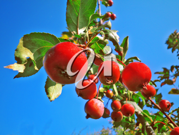 Royalty Free Photo of an Apple Tree