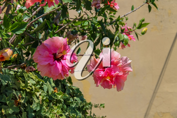 Beautiful pink hibiscus flowers on the background wall
