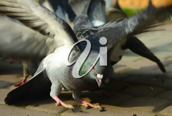Royalty Free Photo of a Pigeon With a Sunflower Seed