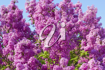 Royalty Free Photo of a Lilac Bush