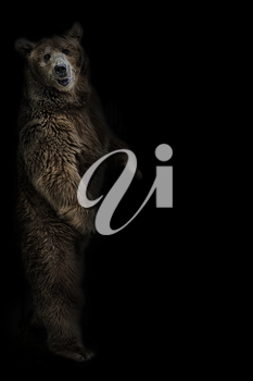 The brown bear stands on its hind legs on a black background