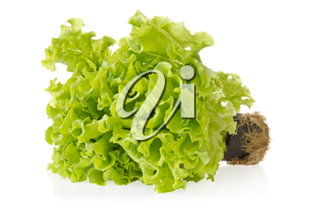 Fresh green lettuce with reflection on white background