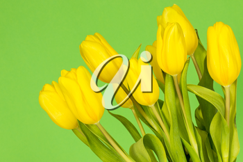 Yellow tulips on the green background