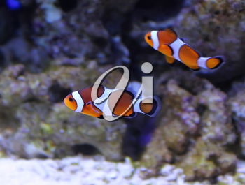 Group of clown fishs in aquarium