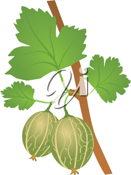 Royalty Free Clipart Image of Gooseberries on a Branch
