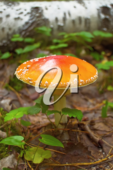 Royalty Free Photo of an Orange Amanita
