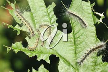 Royalty Free Photo of Caterpillars on a Leaf
