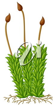 Moss plant with roots illustration