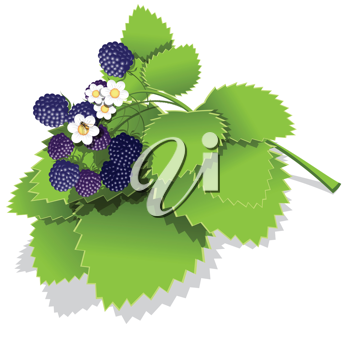Royalty Free Clipart Image of Blackberries