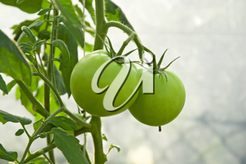Royalty Free Photo of a Tomato Plant