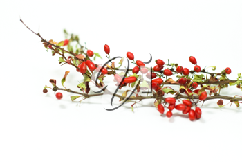Royalty Free Photo of a Branch of Berries