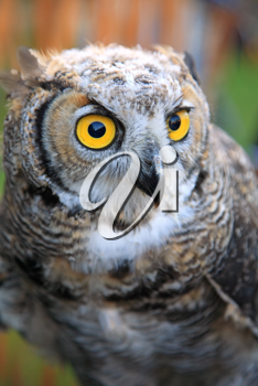 Portrait of owl with yellow eyes, soft focus