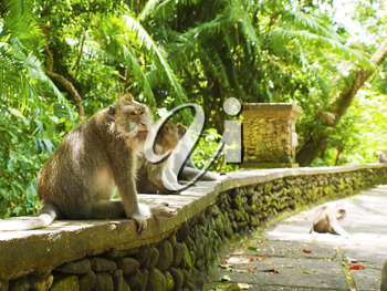 Monkeys sitting on stone fence. Ubud monkey forest, Bali.