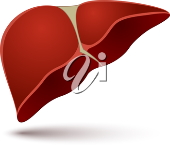Human liver vector illustration isolated on white background.