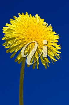 Royalty Free Photo of a Dandelion