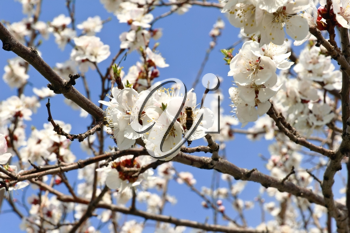 Tree branch with buds and flowers against blue sky background