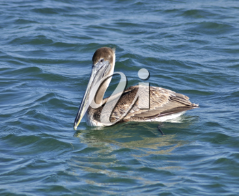 Royalty Free Photo of a Pelican in Water