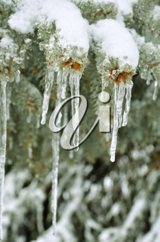 Royalty Free Photo of Icicles in a Pine Tree