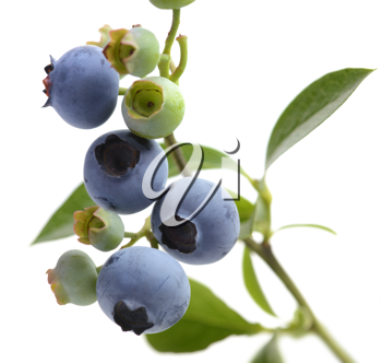 Royalty Free Photo of Blueberries on Branches