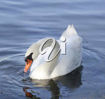 Royalty Free Photo of a White Swan