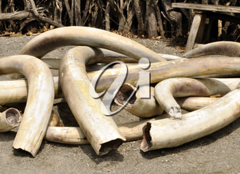 Royalty Free Photo of a Pile of Ivory Tusks