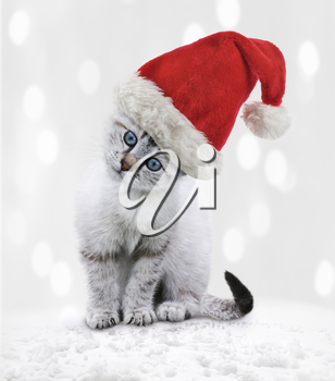 Young White Kitten In A Christmas Hat