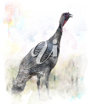 Watercolor Digital Painting Of Turkey Bird