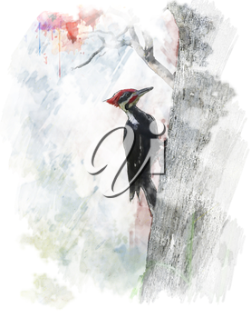 Watercolor Digital Painting Of Pileated Woodpecker (Dryocopus pileatus)