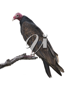 Digital Painting Of Turkey Vulture Perching