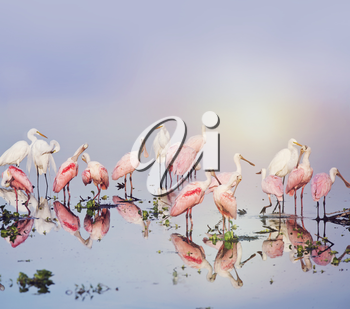 Roseate Spoonbills and Great Egrets in the pond at sunset