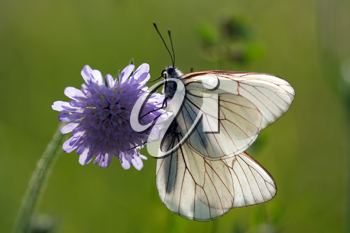 two Aporia crataegi butterflies on a flower