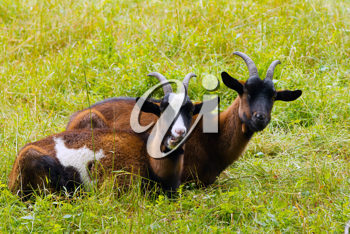 She-goats on a green meadow
