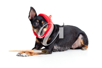 Royalty Free Photo of a Dog With a Paintbrush