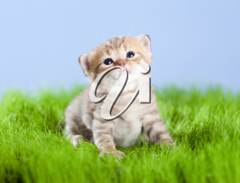 Royalty Free Photo of a Kitten in Grass