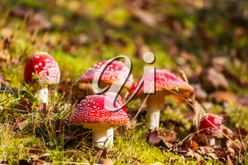 spotted toadstools in autumn season