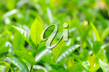 Royalty Free Photo of Green Tea Leaves