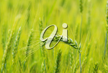 Close up shot of a green wheat field at spring