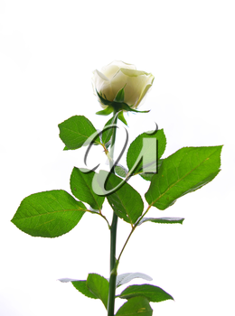 white rose is isolated on a  white background