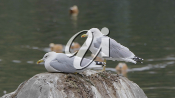 Two seagulls are sitting on a stone in the sea.